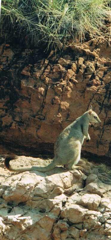 """Rock Wallaby med sorte """"hænder"""" og sort halespids"""